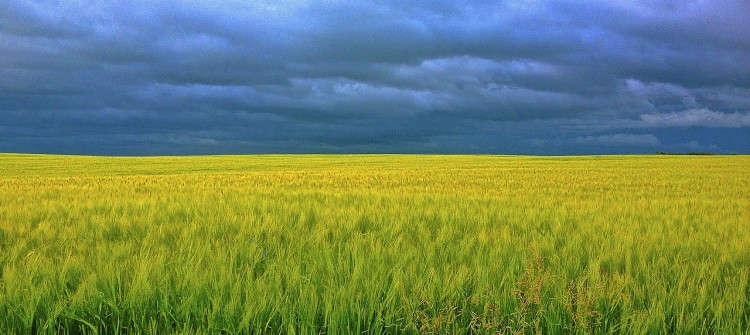 barley-247833_1280